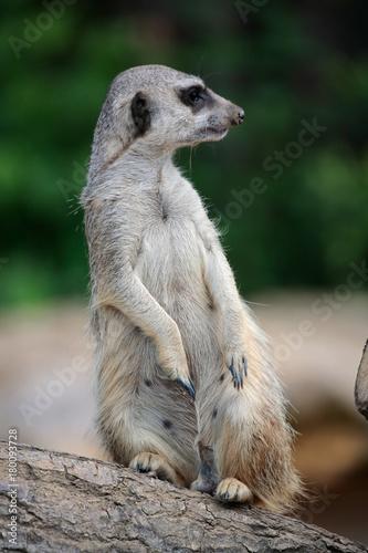 Erdmännchen als Wachposten, Suricata suricatta Poster