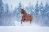 Beautiful red horse running in the snow in winter