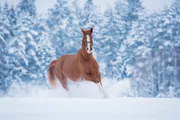 Beautiful red stallion running gallop in winter