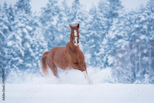 Beautiful red stallion running gallop in winter