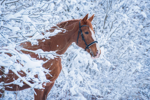 Beautiful red horse in the winter forest