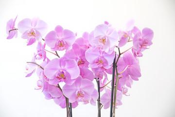 Blütenstängel pink Phalaenopsis