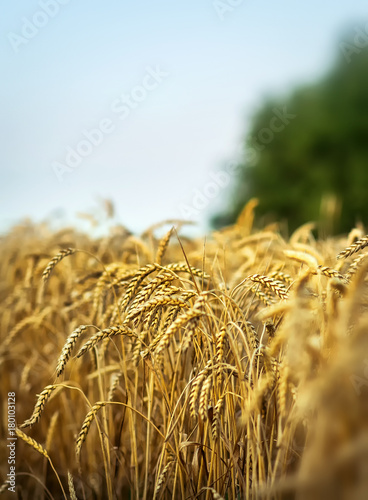 Fotobehang Natuur Wheat field