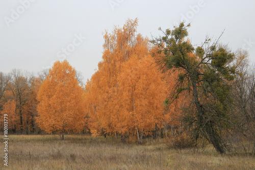 Papiers peints Bosquet de bouleaux riot of autumn paints