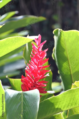 Foto op Canvas Havana Roter Ingwer im Dschungel auf Kuba