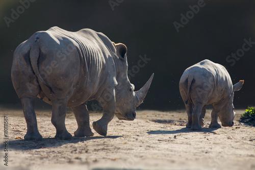 Breitmaulnashörner von hinten im Gegenlicht, Kenia, Ostafrika, Ceratotherium sim Poster