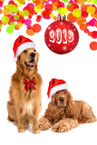 furry dog gold retriever spaniel cap santa claus red new year looking up white background isolate - 180113978