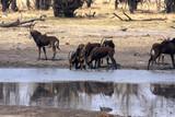 Sable antelope herd, Hippotragus niger, at the Hwange National Park, Zimbawe - 180117541
