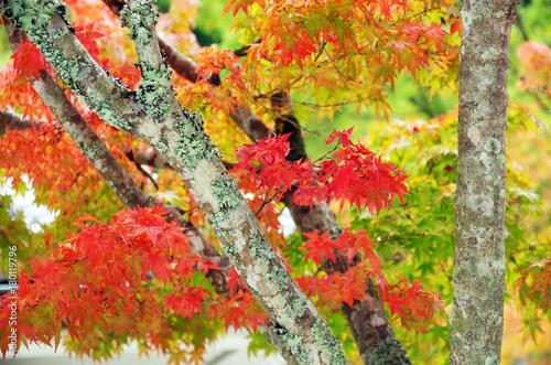 もみじ 紅葉 - 180119796