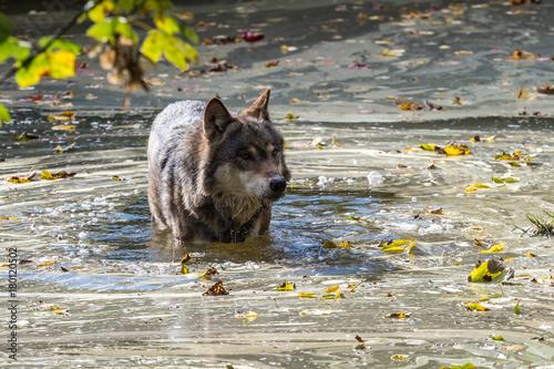 Aluminium Wolf Europäischer Wolf - Canis lupus lupus