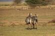 Wilde Zebras (Equus quagga) (Steppenzebras) - Tansania - Afrika