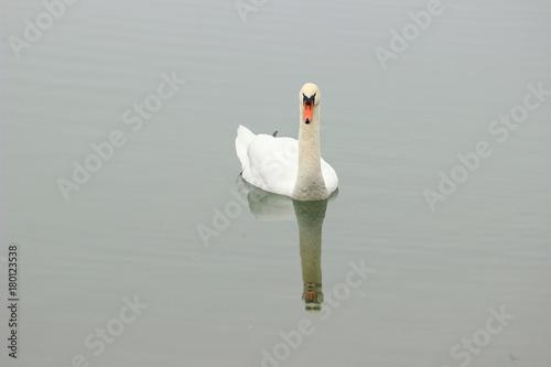 Fotobehang Zwaan Swan in water