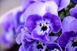 Pansy - Viola x wittrockiana.
