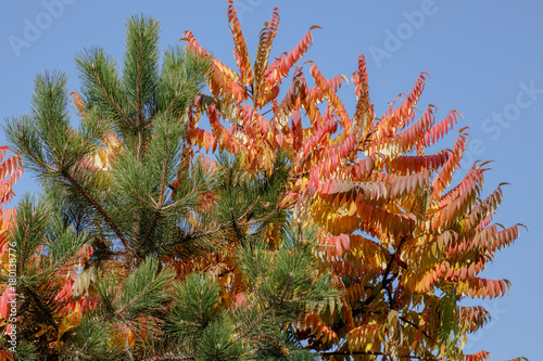 Papiers peints Nature Pine and sumac with red and orange leaves against the blue sky