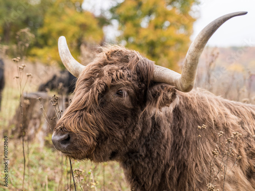 Plexiglas Bison Scottish Highland Cow