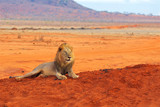 Lion lying in Tsavo National Park Africa looking right