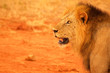 Lion head from profile Tsavo National Park Africa