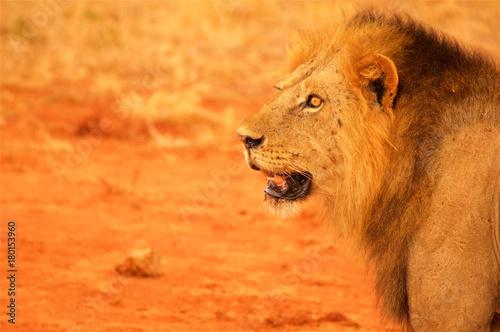 Fotobehang Lion Lion head from profile Tsavo National Park Africa