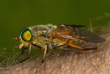 Female horse fly on the human skin biting