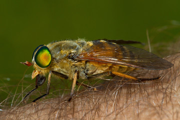 Female horse fly on the human skin biting