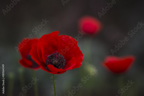 Fotobehang Grijze traf. Field of poppies