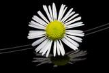 Mayweed flower isolated