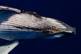 baleine à bosse et ses parasites - 180174511