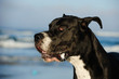 Great Dane dog outdoor portrait against ocean waves