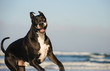 Great Dane dog outdoor portrait running at ocean beach