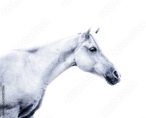 White horse on white background - 180175986