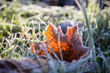 Yellow maple leaf on green grass under autumn frost