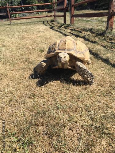 Fotobehang Schildpad Sulcata Tortoise, walking
