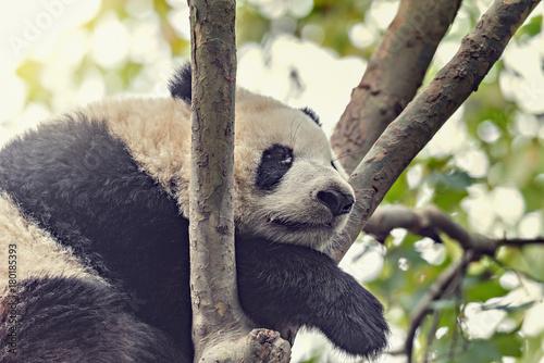Fotobehang Panda Giant Panda sleeps on the tree.