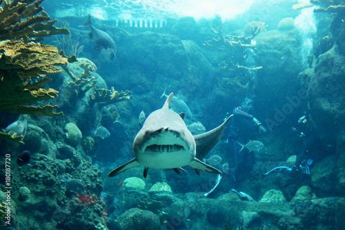Fototapeta A tiger shark swims straight for the camera in an exotic ocean scene
