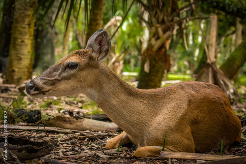 Fotobehang Hert Deer relaxing in the shade, on a hot Florida day