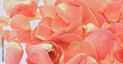 Pink rose petals close up. Valentine's day background.
