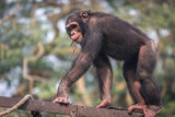 Chimpanzee walking over an iron railing