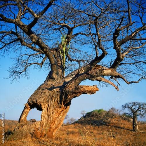Foto op Aluminium Baobab baobab