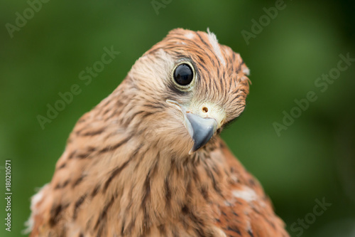 Portrait of a young kestrel Poster