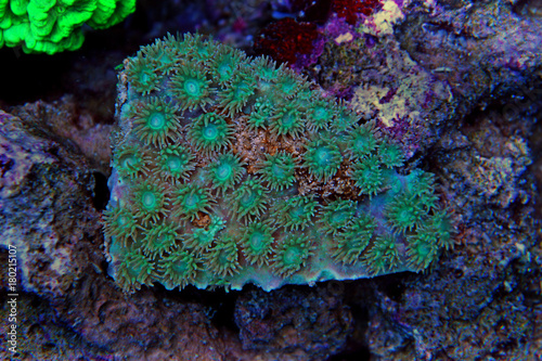 Cup coral in aquarium