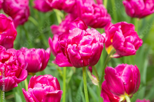 Fotobehang Roze purple tulip flower field in the garden