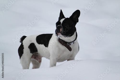 Deurstickers Franse bulldog französische Bulldogge steht im Schnee