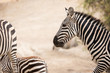 Wildes Zebra (Equus quagga) an einer Wasserstelle