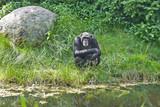 Schimpanse bei der Siesta - 180226308