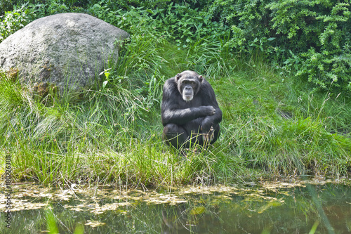 Aluminium Aap Schimpanse bei der Siesta