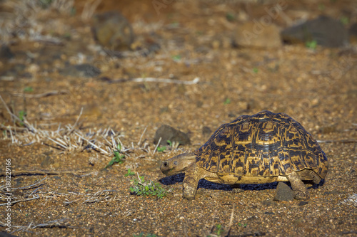 Aluminium Schildpad Leopard tortoise in Kruger National park, South Africa