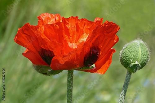 Foto op Plexiglas Klaprozen poppy