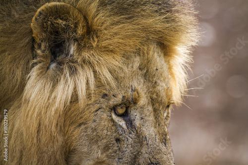 Fotobehang Lion African lion in Kruger National park, South Africa