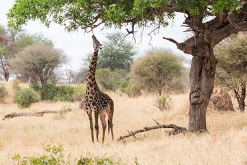 Wildlebende Giraffe (Giraffa) - Afrika
