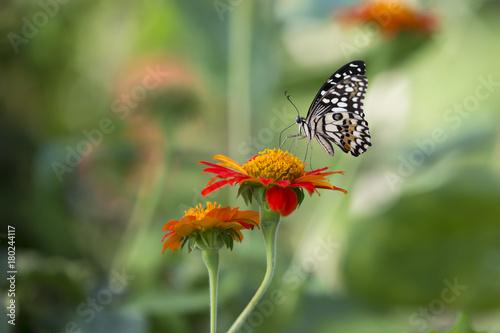 Fotobehang Vlinder Lime Butterfly (Papilio demoleus malayanus) swarming on flowers. Beautiful nature.